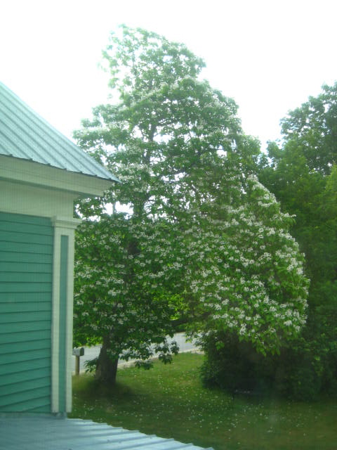 Catalpa tree blooms every late June early July
