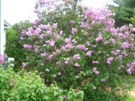 Lilacs Outside Bedroom Windows