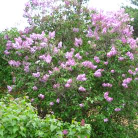 Lilacs Outside Bedroom Windows