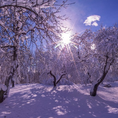 Apple trees winter